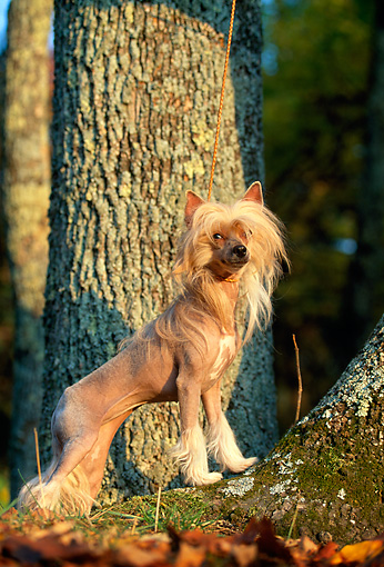 DOG 19 DC0120 01 © Kimball Stock Portrait Of Chinese Crested Dog Standing By Trees
