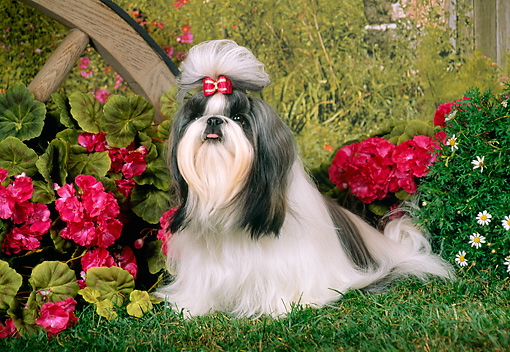 DOG 19 FA0003 01 © Kimball Stock Shih Tzu Sitting On Grass By Flowers And Wagon Wheel