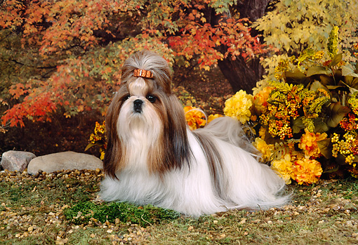 DOG 19 FA0004 01 © Kimball Stock Shih Tzu Sitting On Grass By Flowers And Autumn Trees
