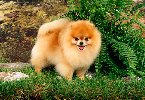 DOG 19 FA0005 01 © Kimball Stock Pomeranian Standing On Grass By Fern