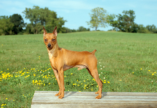 DOG 19 FA0006 01 © Kimball Stock Miniature Pinscher Standing On Wooden Deck By Field Blue Sky