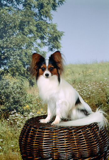 DOG 19 FA0009 01 © Kimball Stock Papillon Sitting On Basket By Field Tree Blue Sky