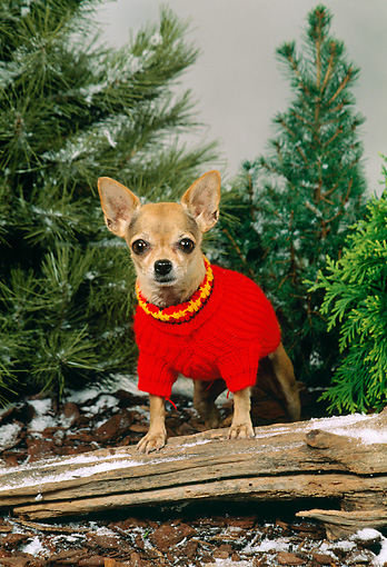 DOG 19 FA0013 01 © Kimball Stock Chihuahua Wearing Red Sweater Standing On Log