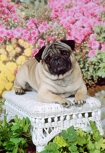 DOG 19 FA0016 01 © Kimball Stock Pug Laying On White Wicker Footrest By Flowers