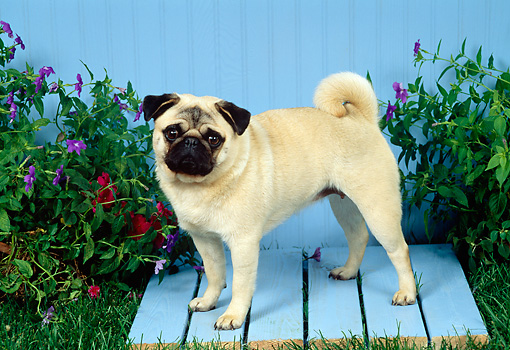 DOG 19 FA0018 01 © Kimball Stock Pug Standing On Blue Platform On Grass By Flowers