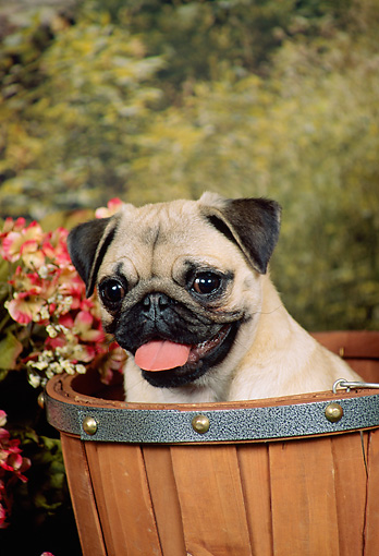 DOG 19 FA0021 01 © Kimball Stock Head Shot Of Pug Sitting In Round Basket By Flowers Trees