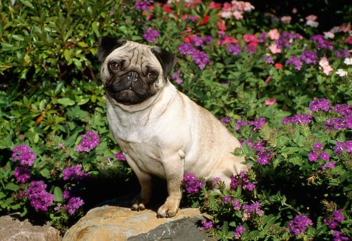 DOG 19 FA0022 01 © Kimball Stock Pug Sitting On Rock By Purple Flowers In Garden