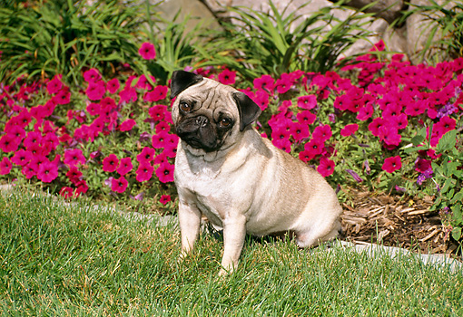 DOG 19 FA0024 01 © Kimball Stock Pug Sitting On Grass By Magenta Flowers