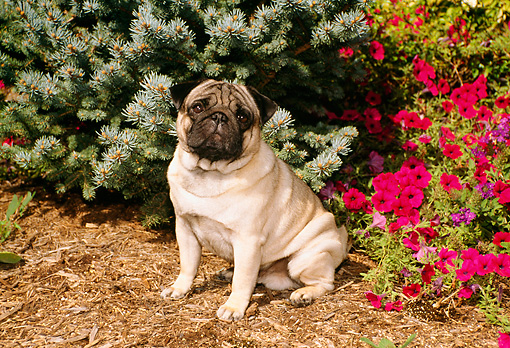 DOG 19 FA0025 01 © Kimball Stock Pug Sitting By Magenta Flowers And Evergreen Tree