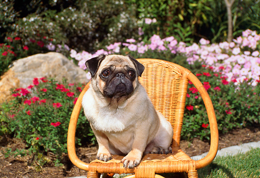 DOG 19 FA0026 01 © Kimball Stock Pug Sitting On Wicker Chair By Flower Garden