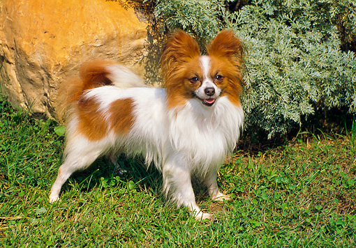 DOG 19 FA0029 01 © Kimball Stock Papillon Standing On Grass In Garden