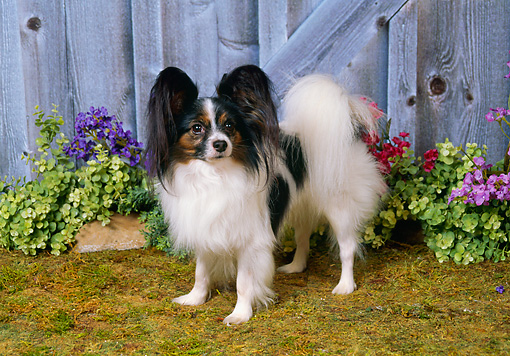 DOG 19 FA0030 01 © Kimball Stock Papillon Standing In Garden By Purple Flowers And Fence