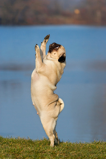 DOG 19 KH0001 01 © Kimball Stock Pug Standing On Hind Legs Reaching Up On Grass By Water