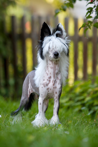 DOG 19 KH0003 01 © Kimball Stock Chinese Crested Dog Standing On Grass By Fence