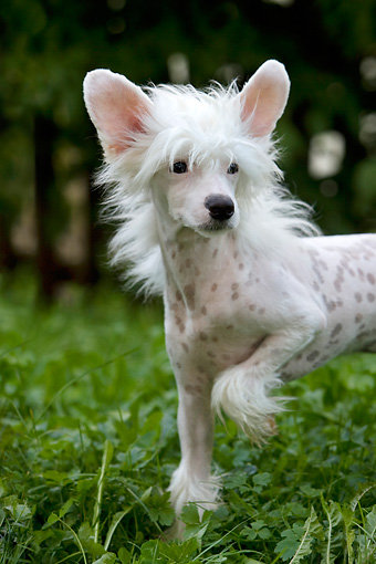 DOG 19 KH0004 01 © Kimball Stock Chinese Crested Dog Standing On Grass Close-Up Paw Lifted