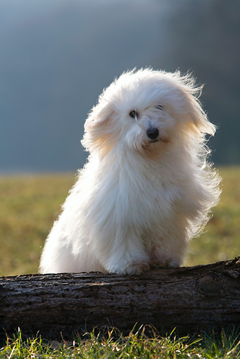 DOG 19 KH0005 01 © Kimball Stock Coton De Tulear Standing On Log In Field
