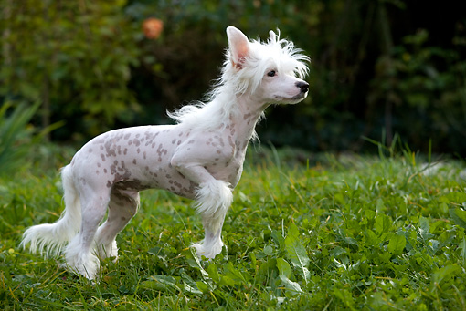 DOG 19 KH0007 01 © Kimball Stock Chinese Crested Dog Standing In Grass With Paw Raised