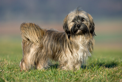 DOG 19 KH0009 01 © Kimball Stock Lhasa Apso Standing On Grass