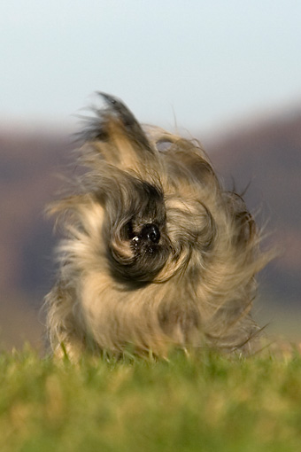 DOG 19 KH0010 01 © Kimball Stock Lhasa Apso Shaking On Grass