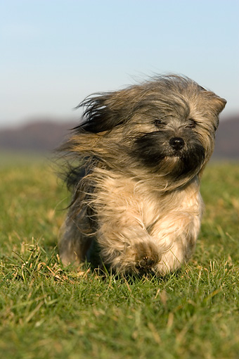 DOG 19 KH0011 01 © Kimball Stock Lhasa Apso Running On Grass