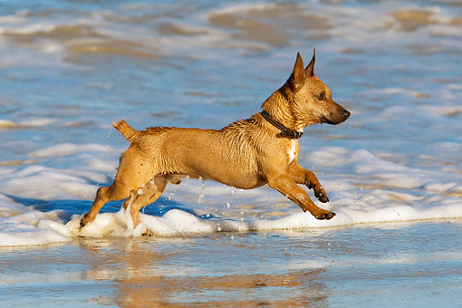 DOG 19 KH0014 01 © Kimball Stock Miniature Pinscher Running In Surf On Beach Profile
