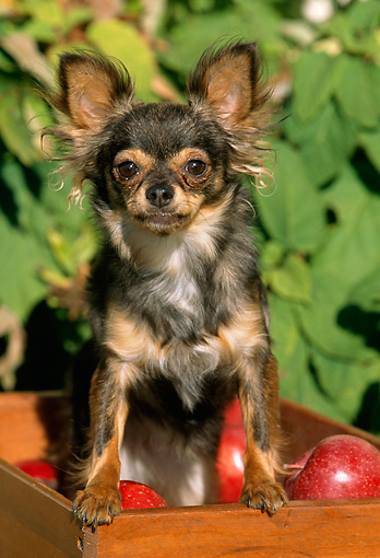 DOG 19 LS0001 01 © Kimball Stock Long-Haired Chihuahua Standing On Box Of Red Apples
