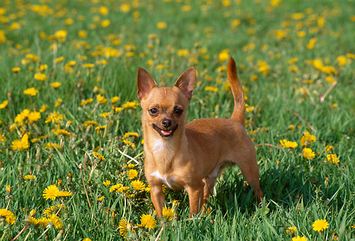 DOG 19 LS0003 01 © Kimball Stock Chihuahua Standing In Field Of Dandelions