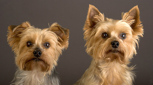DOG 19 MR0001 01 © Kimball Stock Portrait Head Shot Of Two Yorkshire Terriers Studio