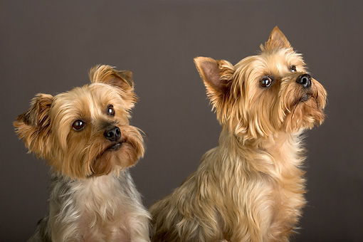 DOG 19 MR0002 01 © Kimball Stock Portrait Head Shot Of Two Yorkshire Terriers Studio