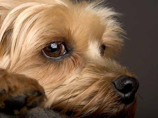 DOG 19 MR0003 01 © Kimball Stock Close Up Of Yorkshire Terrier Studio