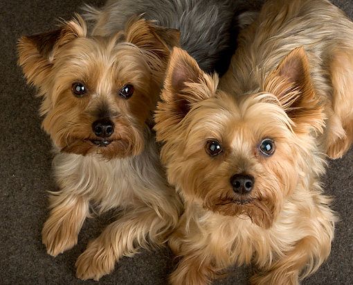 DOG 19 MR0005 01 © Kimball Stock Portrait Of Two Yorkshire Terrier Dogs Studio