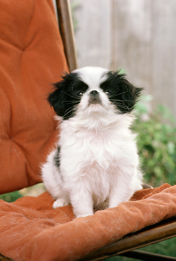 DOG 19 RC0002 01 © Kimball Stock Portrait Of Japanese Chin Sitting On Orange Chair In Garden