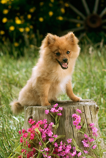 DOG 19 RC0003 01 © Kimball Stock Portrait Of Pomeranian Sitting On Tree Stump By Pink Flowers Grass