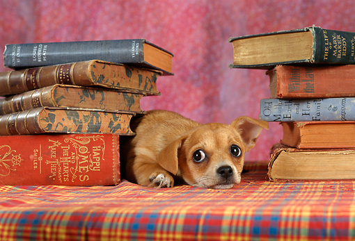 DOG 19 RC0004 01 © Kimball Stock Portrait Of Tan Chihuahua Laying By Stacks Of Books
