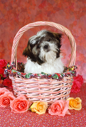 DOG 19 RC0006 01 © Kimball Stock Shih Tzu Sitting In Pink Basket By Roses Studio