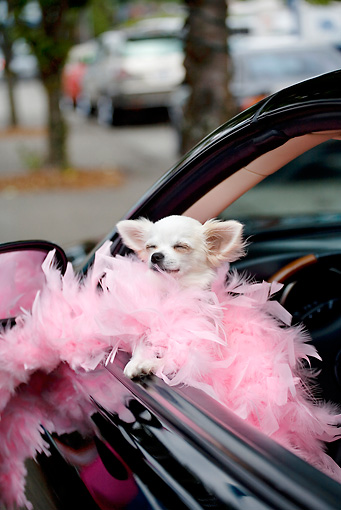 DOG 19 RD0010 01 © Kimball Stock Long-Haired Chihuahua Wearing Pink Feather Boa Sticking Head Out Car Window
