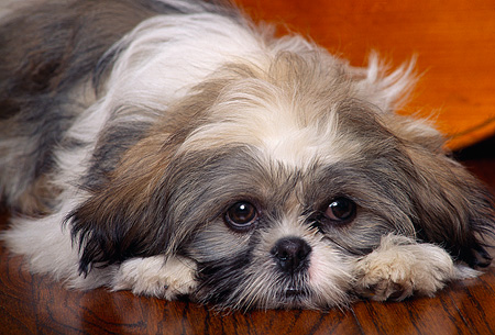 DOG 19 RK0004 05 © Kimball Stock Head Shot Of Shih Tzu Laying With Head Down On Wooden Floor