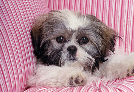 DOG 19 RK0007 04 © Kimball Stock Head Shot Of Shih Tzu Sitting On Pink Striped Pillows