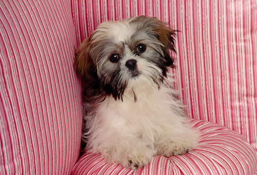 DOG 19 RK0007 06 © Kimball Stock Head Shot Of Shih Tzu Sitting On Pink Striped Pillows