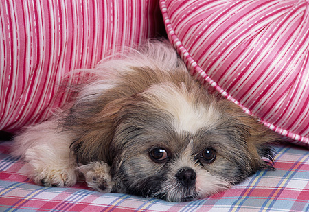 DOG 19 RK0008 07 © Kimball Stock Head Shot Of Shih Tzu Laying On Plaid And Striped Pillows