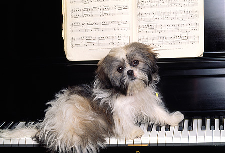 DOG 19 RK0014 06 © Kimball Stock Shih-Tzu Sitting On Piano Keys