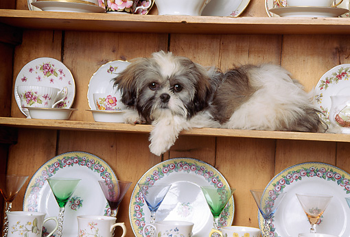 DOG 19 RK0015 05 © Kimball Stock Shih-Tzu Laying On Shelf With Dishes