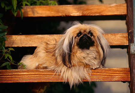 DOG 19 RK0017 08 © Kimball Stock Pekingese Dog Laying On Wooden Bench By Leaves Facing Camera