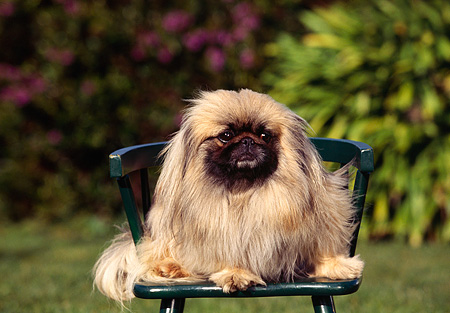 DOG 19 RK0034 01 © Kimball Stock Pekingese Dog Sitting On Green Chair Facing Camera By Grass And Bushes