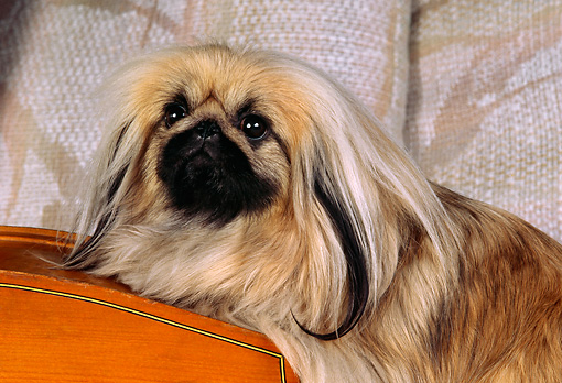 DOG 19 RK0036 01 © Kimball Stock Close Up Head Shot Of Pekingese Dog Laying On Cello Couch Background