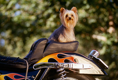 DOG 19 RK0038 14 © Kimball Stock Mini Yorkshire Dog Sitting On Back Of Motorcycle With Flames Trees Background