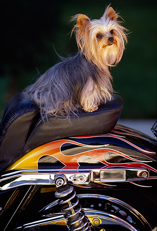 DOG 19 RK0039 02 © Kimball Stock Mini Yorkshire Terrier Sitting On Motorcycle Seat
