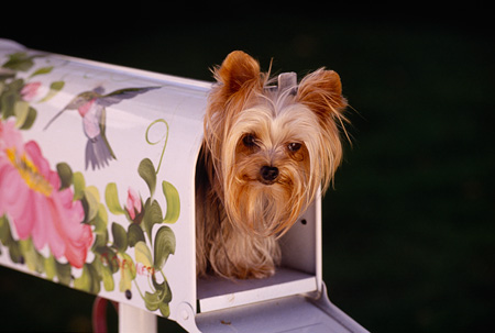 DOG 19 RK0042 10 © Kimball Stock Head Shot Of Yorkshire Dog Peeking Out Of Flower Mailbox