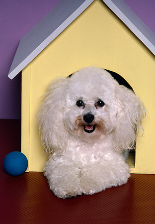 DOG 19 RK0062 02 © Kimball Stock Head Shot Of Poodle Laying In Yellow Dog House With Ball Facing Camera