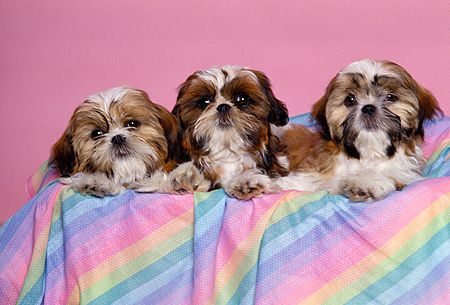 DOG 19 RK0075 41 © Kimball Stock A Group Of Shih Tzu Dogs Sitting In Colorful Basket Pink Background